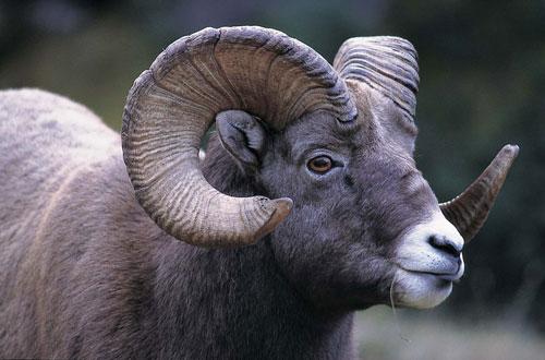 כבש זכר